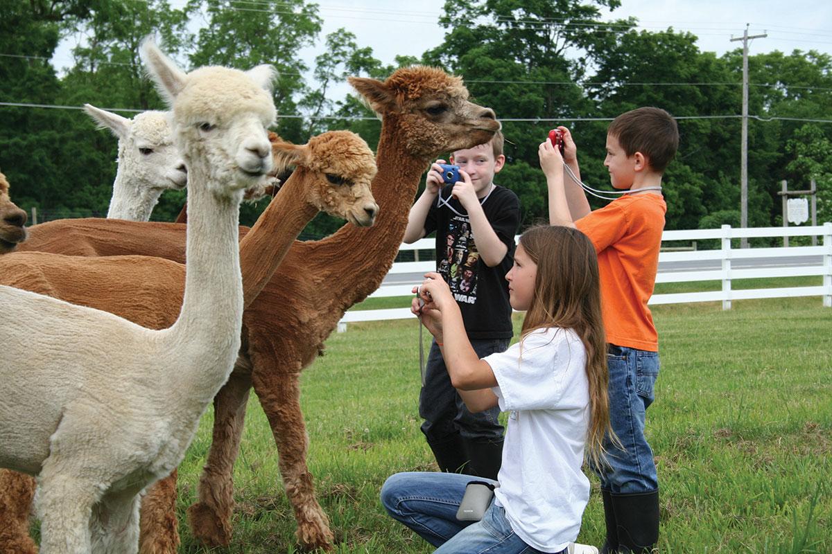 kids photographing llamas