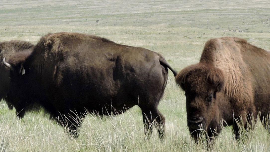 bison-in-grassland