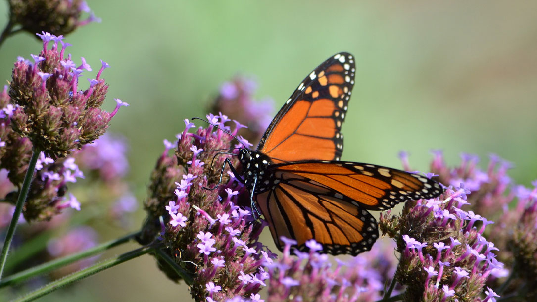 Butterfly On Purple Flower
