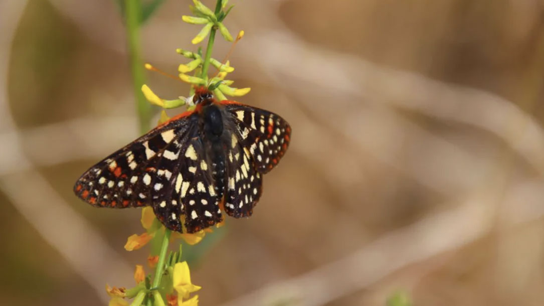 Butterfly With Spots