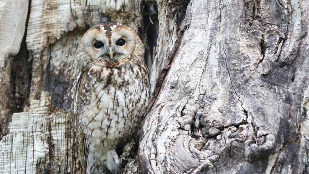 Camo Owl