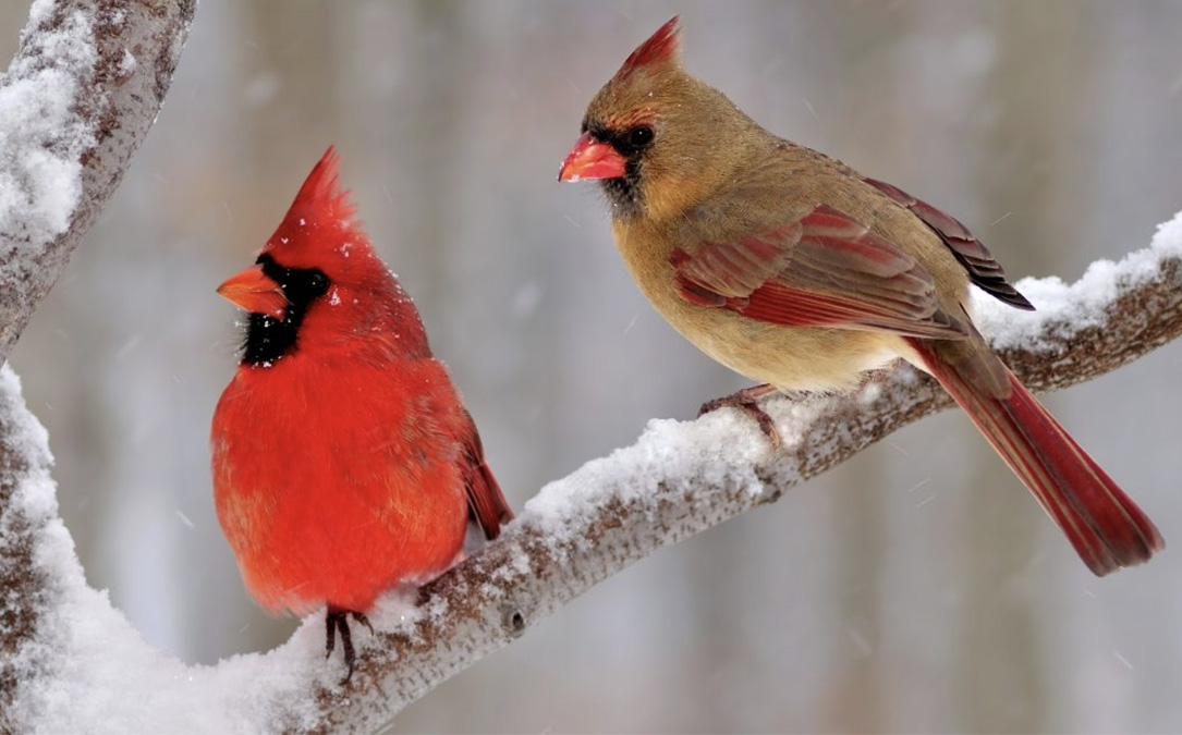cardinals-in-snow