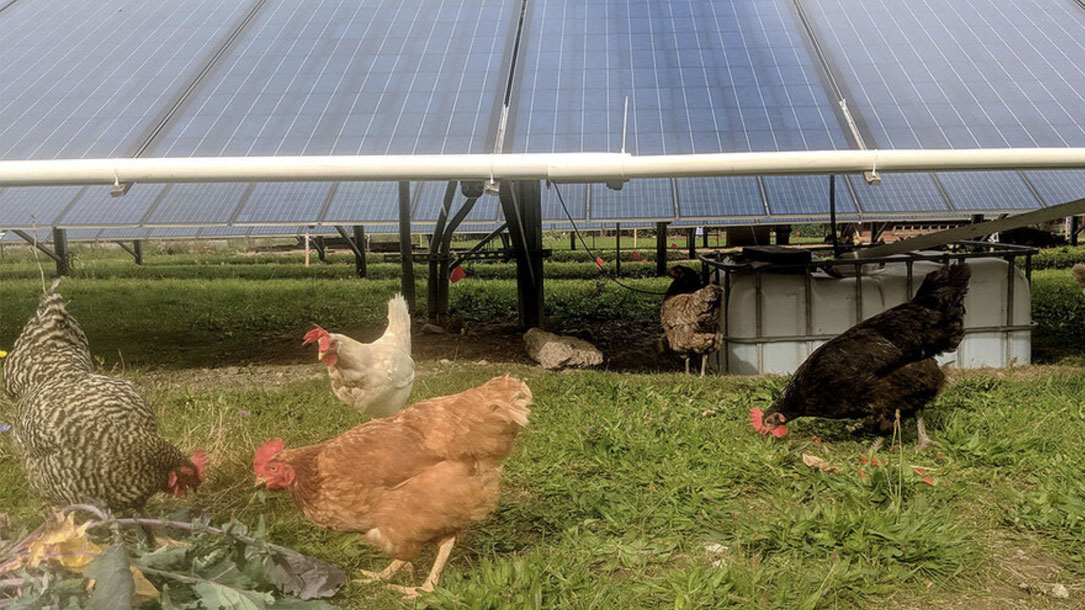 Chickens And Solar