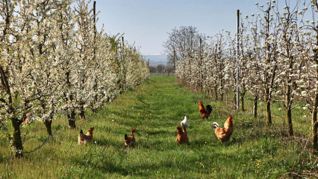 Chickens In Orchard
