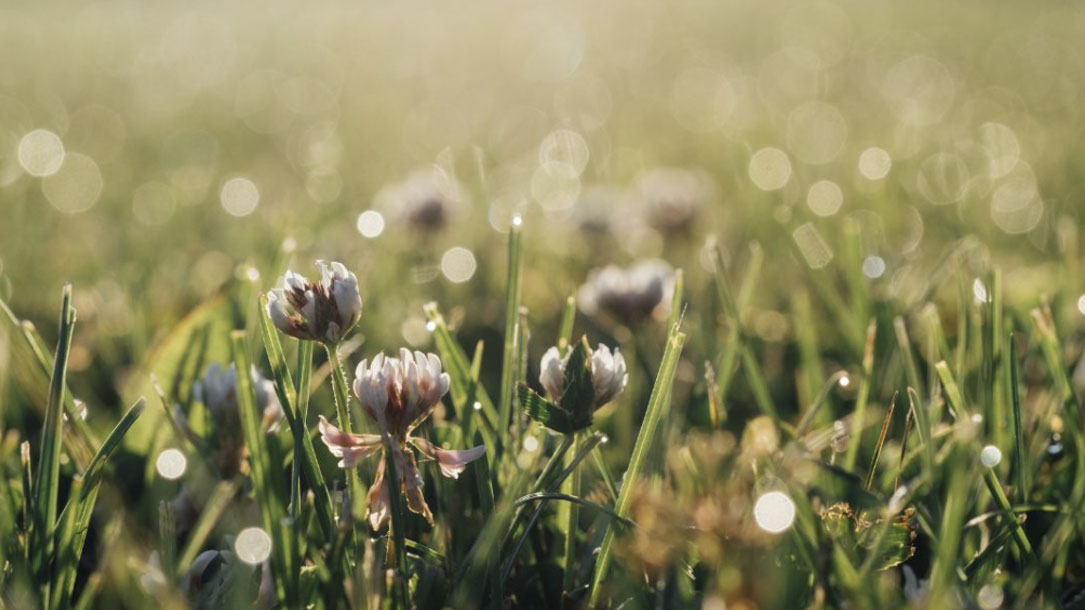 Clover And Sunspots
