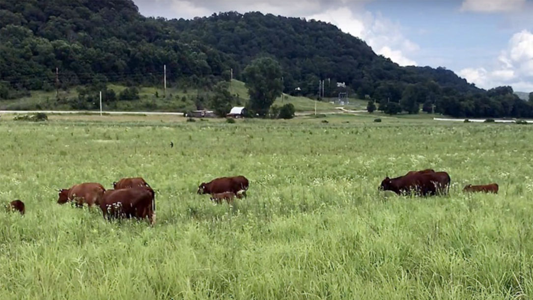 Cows On Savanna