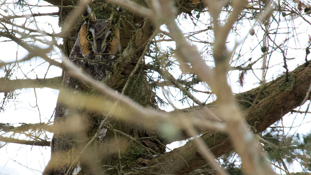 Great Horned Through The Branches