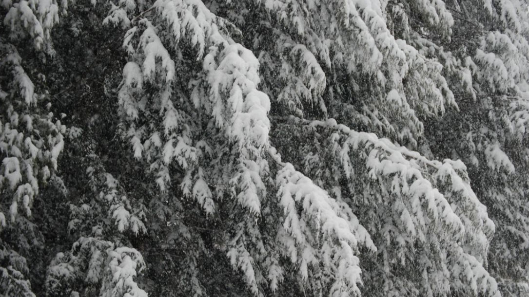 Hemlocks With Snow