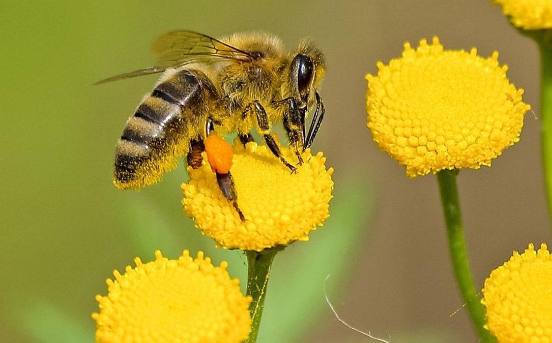 honey-bee-on-yellow-flower