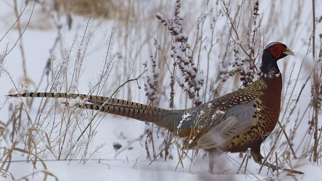 Pheasant In Winter