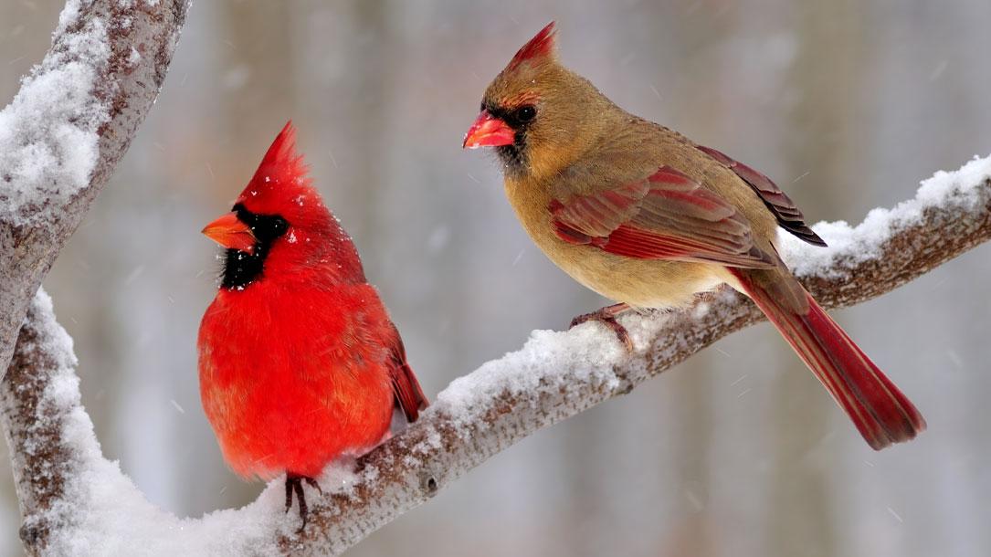Shutterstock Cardinals