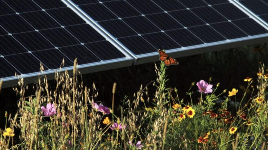 Solar And Pollinators