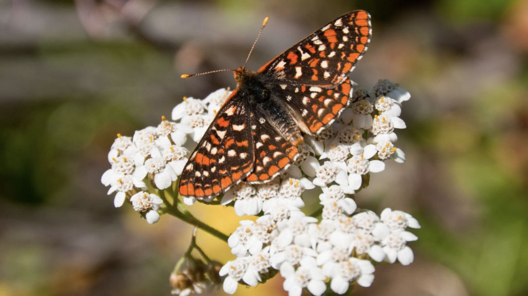 Spotted Butterfly On Flower