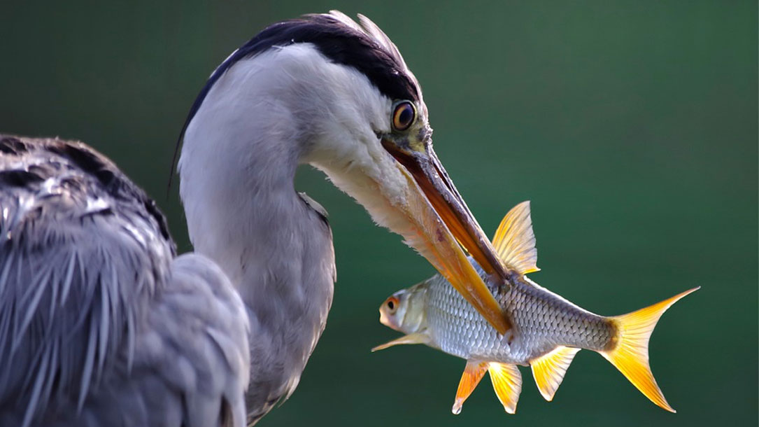 Stork With Fish