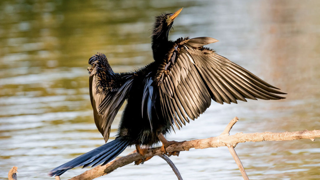 Stretching Cormorant
