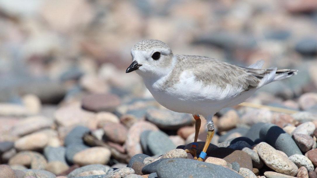 Tagged Shorebird