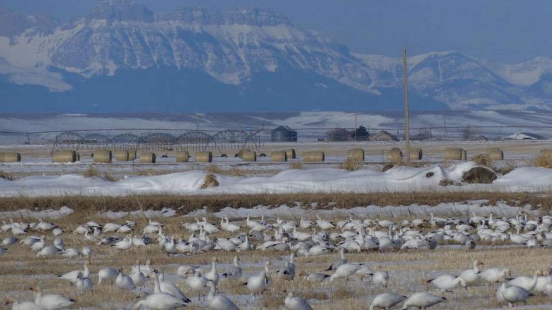 White Birds In Field
