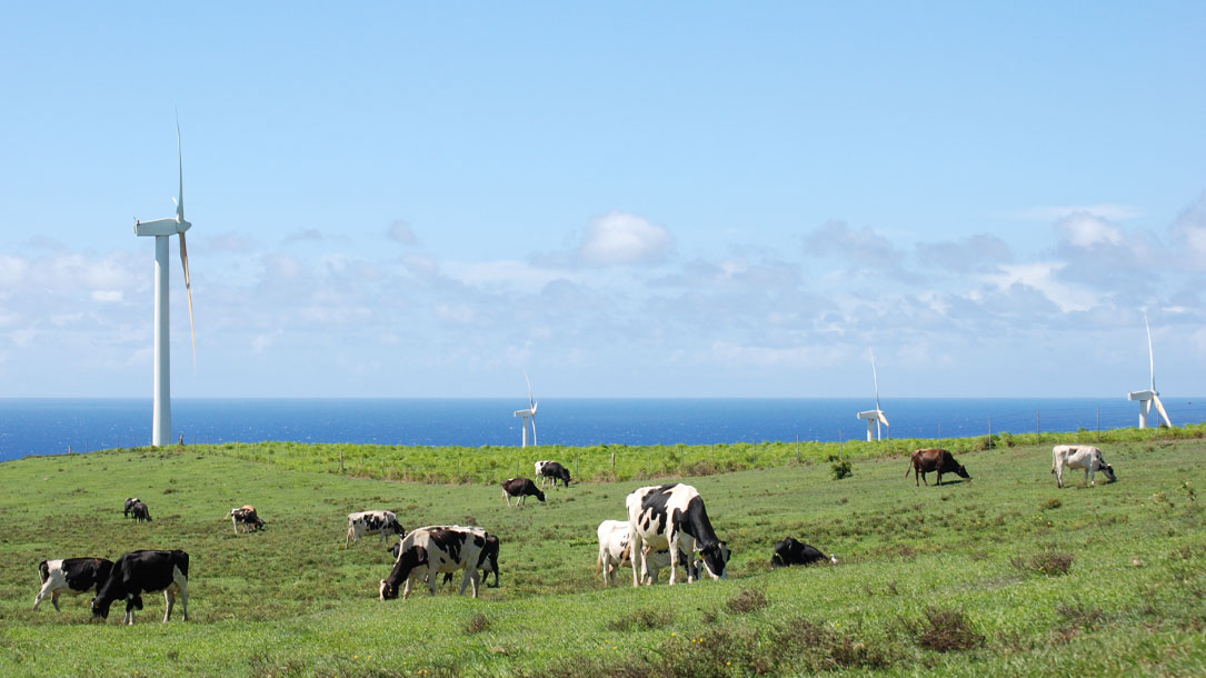 Wind And Cows